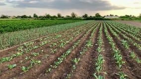 年轻胡椒、韭葱和圆白菜的种植园在一个农场在一好日子 r 环境友好的产品 股票录像