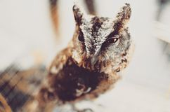 年轻脾气坏的猫头鹰画象 库存照片