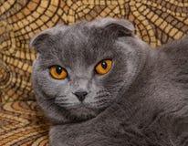 年轻苏格兰人画象折叠猫,灰色颜色 免版税图库摄影