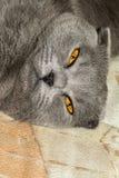 年轻苏格兰人画象折叠猫,灰色颜色 免版税库存照片