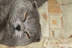 年轻苏格兰人画象折叠猫,灰色颜色 库存照片