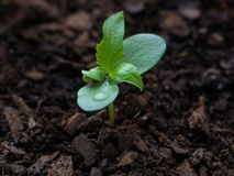 年轻苹果树幼木3个星期在发芽从与水滴的地球以后在叶子 免版税图库摄影