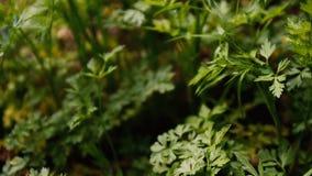 年轻荷兰芹新鲜的叶子在庭院里增长
