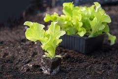 年轻莴苣种植准备好种植在Th的黑褐色土壤 免版税库存图片