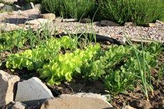 年轻葱、莴苣和萝卜在菜间作的耕种 库存照片