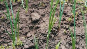 年轻葱在庭院里增长在庭院里 影视素材