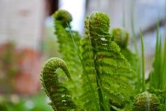 年轻蕨叶子展开特写镜头照片 图库摄影