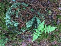 年轻蕨用青苔盖的灌木和树桩 免版税库存照片