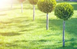 年轻装饰常青树长的行与鞭子的围绕整洁地被整理的叶子,生长在草坪的园林植物新鲜 图库摄影