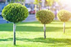 年轻装饰常青树长的行与鞭子的围绕整洁地被整理的叶子,生长在草坪的园林植物新鲜 库存照片