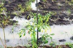 年轻辣椒树用许多辣椒 免版税库存图片