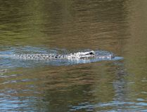 年轻鳄鱼游泳 从银行的树在水中被反射 库存照片