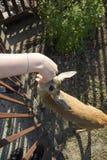 年轻鹿獐鹿婴孩 人的饲料从他的手的一只獐鹿在农场 免版税库存图片