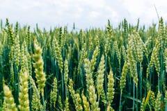 年轻麦子的绿色领域 库存照片