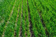 年轻麦田在春天,生长在土壤的幼木 绿色 库存图片