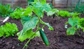 年轻黄瓜在家庭绿色庭院里 免版税库存图片