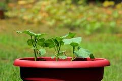 年轻黄瓜植物 库存图片