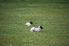 年轻黑面的春天在领域产小羊 库存照片