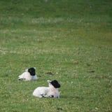 年轻黑面的春天在领域产小羊 免版税图库摄影