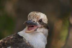 年轻kookaburra 库存照片