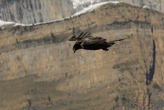 年轻lammergeier飞行比利牛斯 免版税库存照片