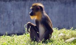年轻mandrill在动物园里 库存照片