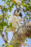 年轻Verreaux的Sifaka狐猴 免版税库存图片