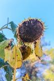 年迈的成熟向日葵在庭院里 图库摄影