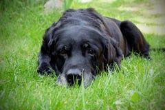 年迈的白发拉布拉多狗 库存照片