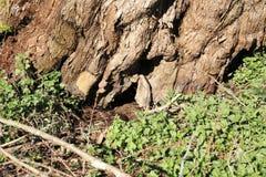 年龄由一个小溪方式的生节的树清除了 图库摄影