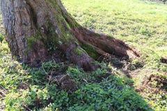 年龄由一个小溪方式的生节的树清除了 免版税库存图片