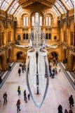 2017年11月27日,伦敦,英国,全国历史的博物馆 鲸鱼骨骼的正面图,一部分的在的鲸鱼陈列 免版税库存图片