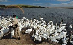 2017年8月12日, Abottsbury,多西特,英国 食物被扔到在最大的天鹅饲养地的疣鼻天鹅在世界上 库存照片