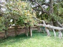 并且一个说谎的树庭院 库存照片