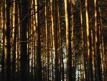 并且森林传播了日落串 库存照片