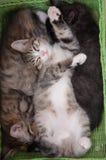 幸运的猫 爱 小猫四个月 免版税库存图片