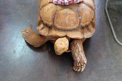 幸运的白色乌龟 库存照片