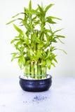幸运的竹子 免版税库存图片