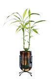 幸运的竹子 免版税库存照片