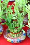 幸运的竹子 免版税图库摄影