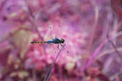 幻想蓝色蜻蜓艺术,蓝色蜻蜓在一个干燥增殖比 免版税库存照片