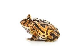 幻想青蛙 免版税库存图片