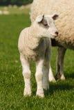 幼儿羊羔细节  图库摄影