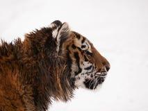 幼小东北虎-豹属底格里斯河altaica画象  库存照片