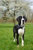 幼小丹麦种大狗或德国人大型猛犬 免版税库存照片