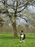幼小丹麦种大狗或德国人大型猛犬 免版税库存图片