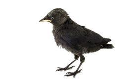 幼小乌鸦 库存图片