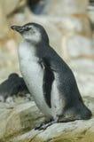 幼小企鹅在水中准备浸洗 免版税图库摄影