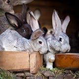 幼小兔子弹出在储藏箱外面 免版税图库摄影