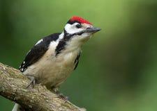 幼小公伟大的被察觉的啄木鸟 免版税库存照片